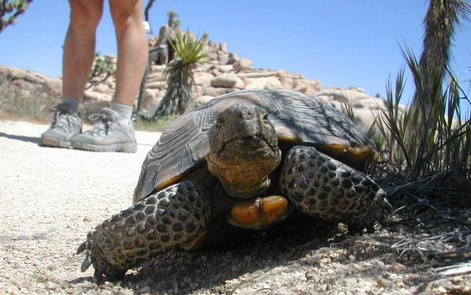 Desert WildlifeMojave has a great diversity of wildlife. In spring and fall, the elusive desert tortoise can be seen foraging food.