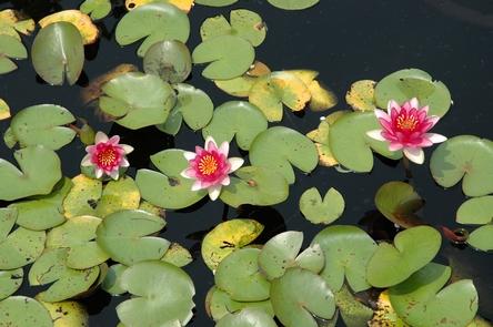 Kenilworth Aquatic GardensWater lilies that can be found at Kenilworth Aquatic Gardens
