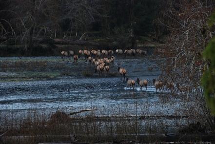 Roosevelt ElkA herd of Roosevelt Elk cross a river in Olympic.
