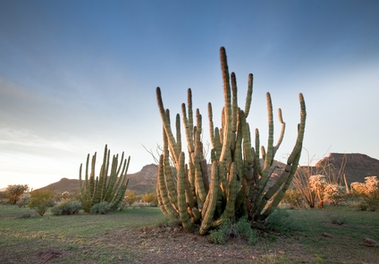 Organ Pipe CactusExperience the only place in the US where the Organ Pipe Cactus naturally grows