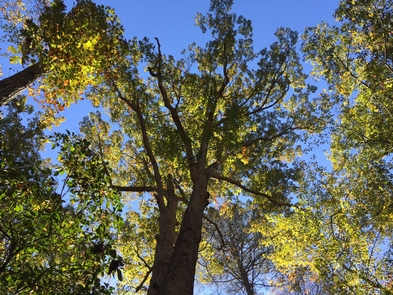 Tree on South Valley TrailTuliptrees are a mid-secession tree in the forest.