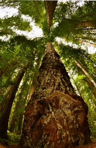 Redwood tree at Stout Grove