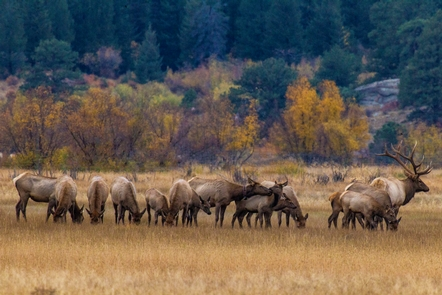 Elk in Moraine ParkIn the fall, Rocky's elk gather together in groups for the mating season.