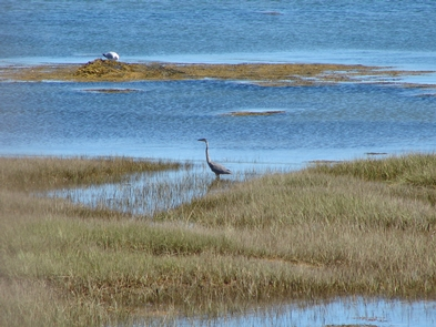 ShoreGreat blue heron on the shore.