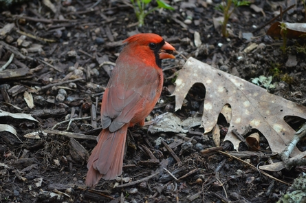 Northern CardinalRussell Cave is site 44 on the Alabama birding Trail.