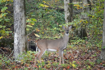 Deer behind visitor centerFor a park of its size, Russell Cave National Monument has a diverse landscape that provides a remarkable habitat for wildlife observation.