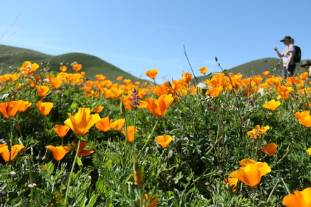 Native WildflowersCalifornia poppy, Eschscholzia californica