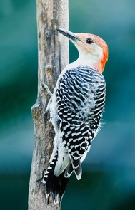 """Red-Bellied WoodpeckerThere are over 200 species of bird that call Shenandoah """"home."""""""
