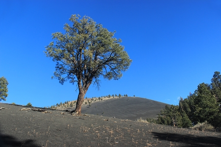 Lone PonderosaGeologists and biologists study the area surrounding Sunset Crater Volcano to better understand how landscapes recover after an eruption.