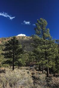 Ponderosas Reaching SkywardOn warm days, the bark of ponderosa pine trees smells like vanilla or butterscotch.