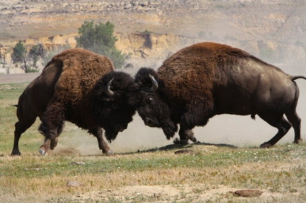 Raise a RuckusIn the summer, bull bison wage furious battles over the right to breed.