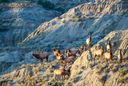 Fall BugleThe ghostly bugles of bull elk can be heard wafting through the badlands in the fall.