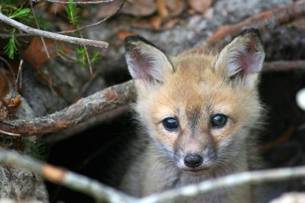 Baby FoxThe Timucuan Preserve hosts wondrous biodiversity.