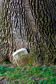 Headstone in TreeA headstone in the Vicksburg National Cemetery rest beside a tree.