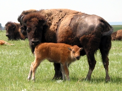Bison cow and calfSeveral hundred bison roam the rolling prairie of Wind Cave National Park.