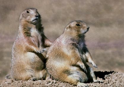 Prairie DogsPrairie dog sightings are common throughout the park's prairies.