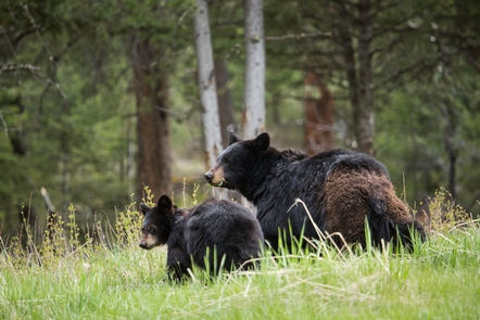 Black bear sow with cubA sow black bear walks with her cub.