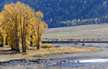 Cottonwoods and bison along the Lamar RiverFall colors the cottonwoods and bison in the Lamar River Valley