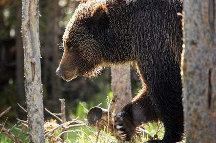 Grizzly Bear near Swan LakeA male grizzly can weigh between 200–700 pounds!