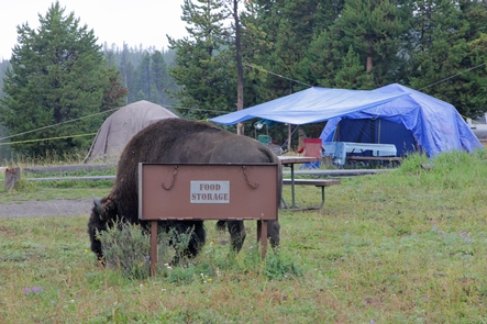 Bridge Bay CampgroundBison are frequent visitors at Bridge Bay Campground.