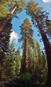 Giant Sequoia TreeGiant Sequoia trees are the largest living things (by volume) on the planet. Though not the tallest trees, one feels miniature in their presence..