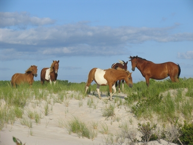 Wild Horses on the dunes at AssateagueThere are few places in the United States where you can view wild horses.Take advantage of the opportunity to view these horses in a natural habitat.