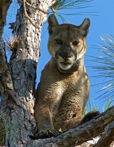 Florida PantherThe Florida Panther is one of the most iconic animals of Big Cypress