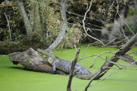 Home To WildlifeCumberland Island National Seashore encompasses a variety of forest, marsh, and coastal landscapes providing a home for numerous species including American Alligators.
