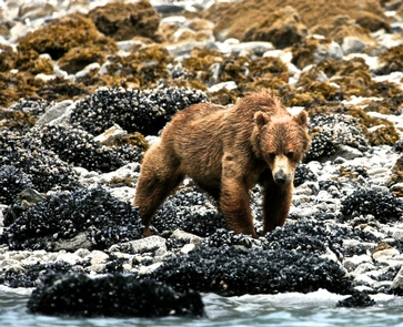 Beachcombing Brown BearBrown bears frequently forage along the shoreline of Glacier Bay