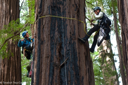 Tree ClimbingScientists Marie Antoine and Steve Sillett climbing a redwood tree in Muir Woods for the 2014 BioBlitz.