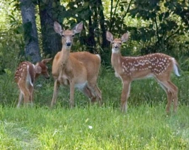 Park has a variety of wildlifeDoe with two fawns