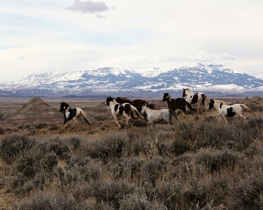 McCullough Peaks Wild Horse Herd Management AreaSeven wild horses run along sage brush covered prairie in front of snow covered mountains.