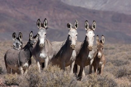 Wild Burros of the Marietta Range