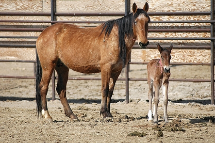 Mare and foal at the Palomino Valley National Wild Horse and Burro Center.