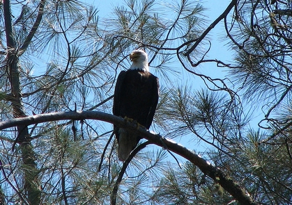 Red Hills ACECWintering bald eagle roosts in foothill pine.