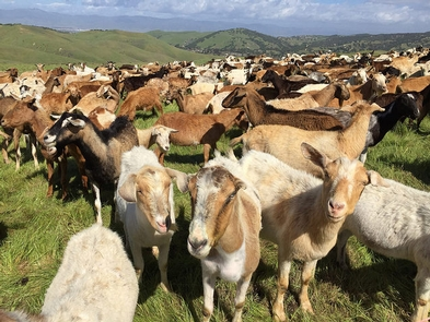 Goats at Help Reduce Fuel LoadsGoats graze on the tall grass at Fort Ord to help reduce fuel loads, slow shrub encroachment and decrease some of the invasive plants.
