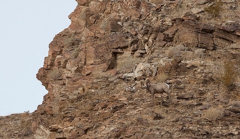 Big Horn SheepA Big Horn Sheep blends in with the rocky landscape.