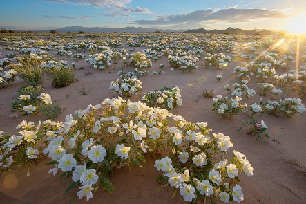 Cadiz Dunes Wilderness in the Mojave Trails National MonumentSpring display of wildflowers in the sandy soil in the Cadiz Dunes.