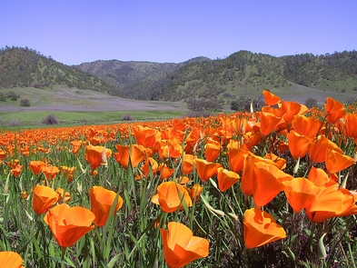 Springtime WildflowersWild California poppies cover the landscape during spring time.