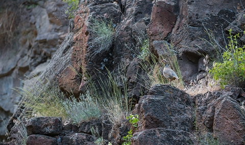 South Fork John Day Wild and Scenic RiverChukar partridge along the South Fork John Day Wild and Scenic River.